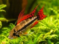 Apistogramma cacatuoides dbl red