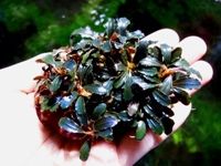 Bucephalandra deep purple